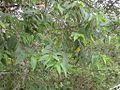 Trema orientalis urajiroenoki02.jpg