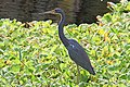 Tri-colored Heron - Egretta tricolor, Bird Rookery Swamp, Collier County, Florida (39161663602).jpg