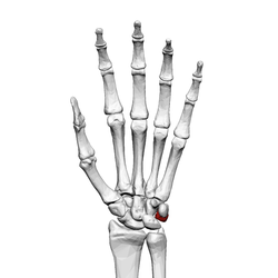 Triangular bone (left hand) 01 palmar view.png