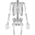 Triangular bone 02 dorsal view.png