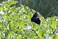 Tricolored Blackbird nesting colony San Benito County Trip with Tom & Beth CA 2017-04-10 11-42-15 (34192285651).jpg