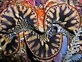 Tridacna squamosa (Giant clam) Timor.jpg