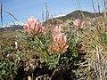 Trifolium macrocephalum (8097594687).jpg