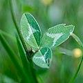 Trifolium medium-Trèfle intermédiaire-Feuilles-20180524.jpg