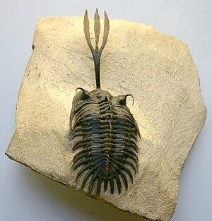 Trilobite - Walliserops trifurcatus, from Jebel Oufatene mountain near Fezzou, Morocco