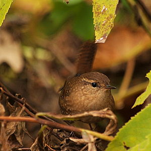 Winter wren - A migrant in Chicago, Illinois