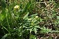 Trollius europaeus in Jardin Botanique de l'Aubrac.jpg