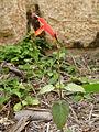 Tropical Sage (16433237248).jpg