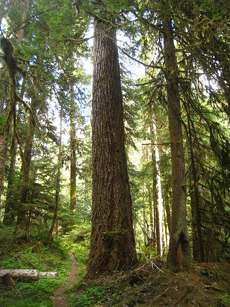 File:Tsuga heterophylla North Fork Quinault River.jpg
