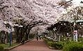 Tsutsujigaoka Park in the cherry blossom season.jpg