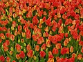 Tulip 1300173.jpg