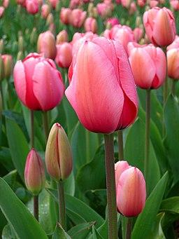 Tulipa suaveolens floriade to Canberra