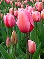 Tulipa suaveolens floriade to Canberra.jpg