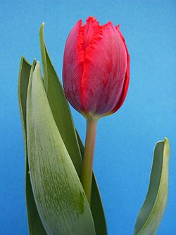 Holland And Holland >> Tulipán – Wikipédia
