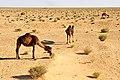 Tunisia-3645 - Camels Roaming Free....... (7847617172).jpg