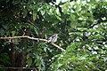 Turdus plumbeus in Dominica-a05.jpg