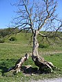 Twisted Tree by Gordale Beck - geograph.org.uk - 505817.jpg