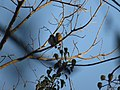 Two Amazonian pygmy owls in canopy.jpg
