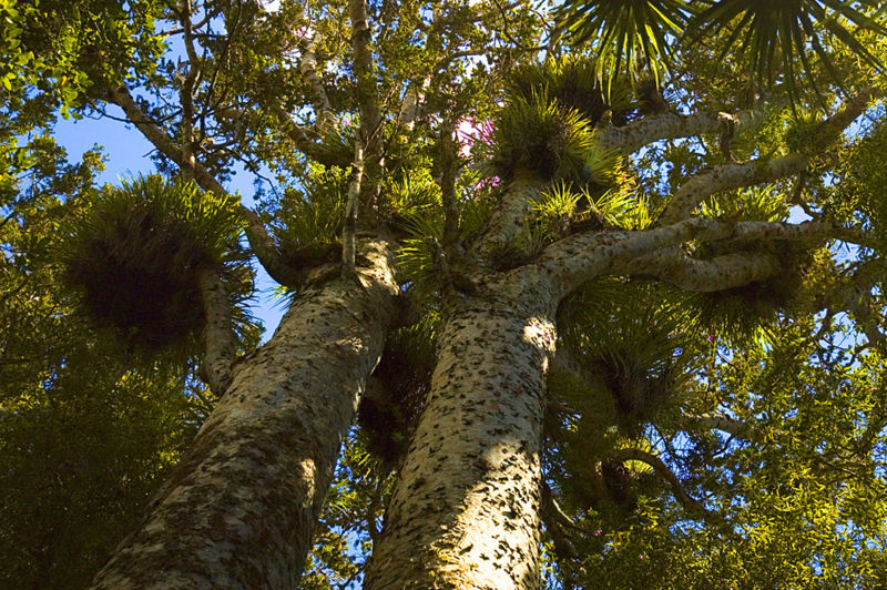 File:Two Kauri Trees.jpg