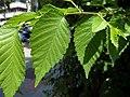 U. pumila-leave-2.jpg