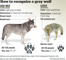 Gray wolf encyclopedia of life differences between gray wolf and coyote publicscrutiny Images