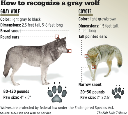 Comparative illustration of coyote and gray wolf USFWS - How to recognise a gray wolf.png