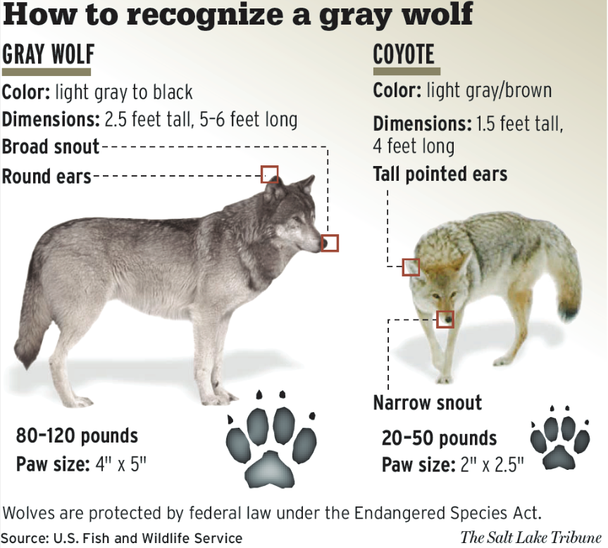 USFWS - How to recognise a gray wolf