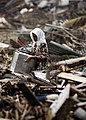 US Navy 050114-N-4166B-017 An Indonesian Woman searches through debris in the rain, where her house once stood, in the city of Banda Aceh on the island of Sumatra, Indonesia.jpg