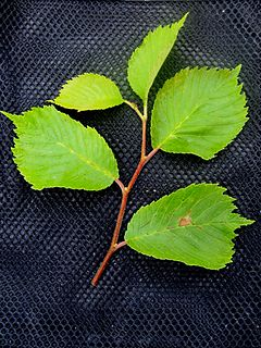 <i>Ulmus bergmanniana</i> species of plant