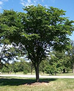 Ulmus laciniata.jpg
