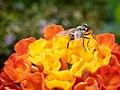 Une mouche sur une fleur.jpg