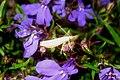 Unid. grass-veneer (NH) (7806889700).jpg