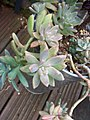 Unidentified Succulents (6034783722).jpg