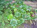 Unidentified plant in garden.JPG