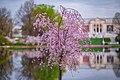 University Circle Cherry Blossoms (40724210913).jpg