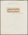 Uropeltis ceylanica - 1700-1880 - Print - Iconographia Zoologica - Special Collections University of Amsterdam - UBA01 IZ11400053.tif