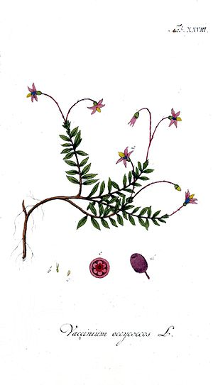 Vaccinium - Vaccinium oxycoccos, the common cranberry, one kind of cranberry