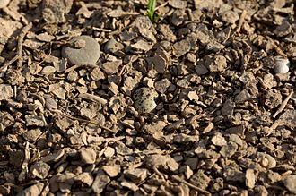 Spur-winged lapwing - Image: Vanellus spinosus egg
