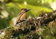 Veniliornis fumigatus -NW Ecuador-6