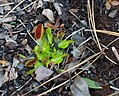 Venus flytrap on the Flytrap Trail.jpg