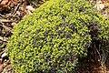 Verbascum spinosum pm1.jpg
