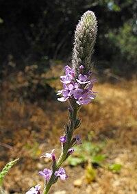 Verbena lasiostachys 002