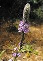 Verbena lasiostachys 002.jpg