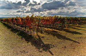 Verdicchio grape vines growing in the Marche r...