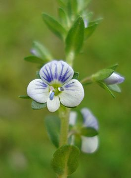 Veronica serpyllifolia W.jpg