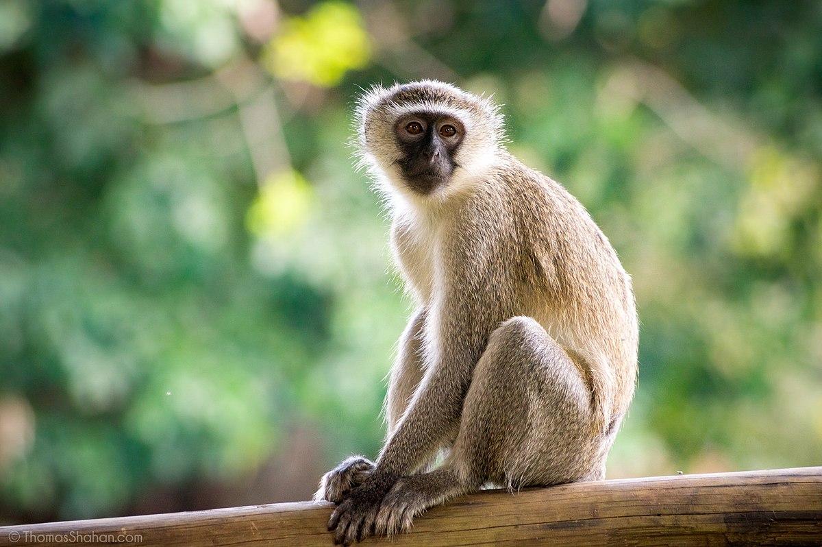 f9f6fb9fdd702 Vervet monkey - Wikipedia