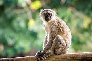 Vervet monkey Species of Old World monkey
