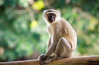 Vervet monkey - Adult in Gorongosa National Park, Mozambique