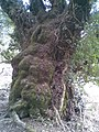 Very old tree - geograph.org.uk - 1754071.jpg