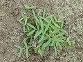 Vicia cracca young plant, vogelwikke jonge plant (1).jpg